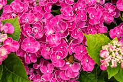 Free Hydrangea Curly Wurly Pink Royalty Free Stock Photography - 136087877