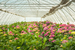 Hydrangea cut flower nursery Royalty Free Stock Images