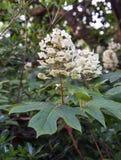 Hydrangea d'Oakleaf Photo stock