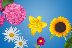 Hydrangea, Daisies, a Yellow Tiger Lily, a Magenta Anemone Coronaria and a Sunflower Isolated Royalty Free Stock Photo