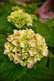Hydrangea de floraison Photographie stock libre de droits