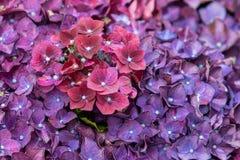Hydrangea deep purple. In full flower close_up royalty free stock image