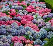 Hydrangea in den multi Farben Lizenzfreies Stockfoto
