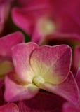 Hydrangea dentellare Fotografia Stock Libera da Diritti