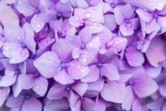 Hydrangea Detail Stock Photography