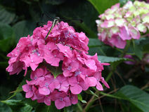 Hydrangea with a Dragonfly. A dragonfly sitting on a pink hydrangea flower Stock Images