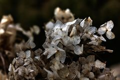Hydrangea. Dried flowers. Royalty Free Stock Photography
