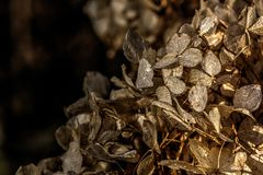 Hydrangea. Dried flowers. Royalty Free Stock Images