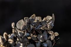 Hydrangea. Dried flowers. Stock Image