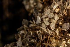 hydrangea Droge bloemen Royalty-vrije Stock Afbeeldingen