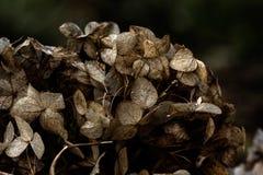 hydrangea Droge bloemen Stock Foto's