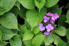 Hydrangea. Eight immortals named in the Eight Immortals, so the meaning of `Eight Immortals, the supernatural powers` in the UK, this flower was hailed as ` Stock Photography