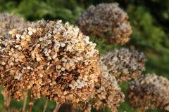 Hydrangea en otoño Foto de archivo