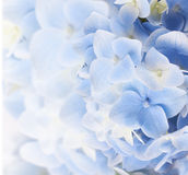 Hydrangea floral background Royalty Free Stock Images