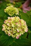 Hydrangea floreciente Fotografía de archivo libre de regalías