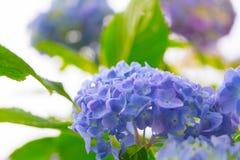 Hydrangea flower against white background Stock Photo