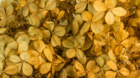Hydrangea flower in autumnal colors Royalty Free Stock Photography