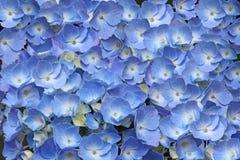 Hydrangea Flower Background Stock Photo
