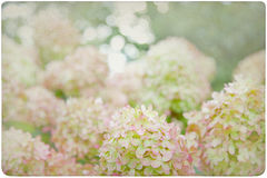 Hydrangea Flower Background Royalty Free Stock Photo