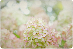 Hydrangea Flower Background Royalty Free Stock Images