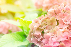 Hydrangea flower. Beautiful hydrangea flower in the garden with color filter, flower background royalty free stock photography