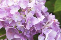 Hydrangea flower Royalty Free Stock Image