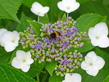 hydrangea flower with bee Royalty Free Stock Photo