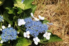 Hydrangea flower in bloom, Azores. royalty free stock photos