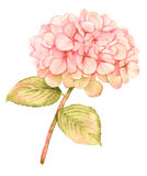 Hydrangea flower in bloom - watercolor painting Royalty Free Stock Photos