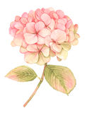 Hydrangea flower in bloom - watercolor painting Stock Photos