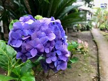 Hydrangea Flower Blooming by the way stock photos