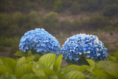 Hydrangea flower in blue tone with green background Royalty Free Stock Photos