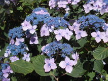 Hydrangea Flower on Brighton Beach, New York. Royalty Free Stock Photos