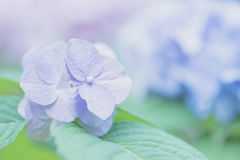Hydrangea flower Royalty Free Stock Image