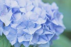 Hydrangea flower Royalty Free Stock Photos