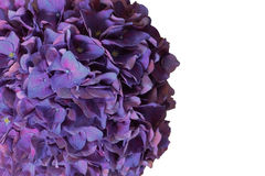 Purple hydrangea flower Royalty Free Stock Photos