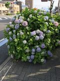 Hydrangea flower. Closed up to many color of hydrangea which are blue, purple,pink color of hydrangea flowers. That are planting on the footpath near the road in royalty free stock photos