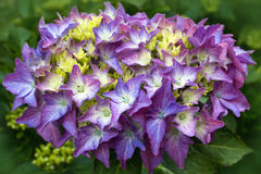 Hydrangea flower closeup Royalty Free Stock Photo