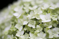 Hydrangea flower closeup background, floral backdrop Stock Image