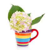 Hydrangea flower in a cup Royalty Free Stock Photos