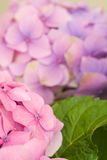 Hydrangea flower detail Royalty Free Stock Photo