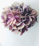 Hydrangea flower. Flower detail flatlay Stock Image