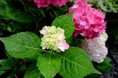 Hydrangea flower. Fresh pink hydrangea flower bloom in Thailand Stock Image
