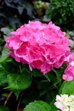 Hydrangea flower. Fresh pink hydrangea flower bloom in Thailand Royalty Free Stock Image