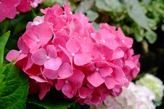 Hydrangea flower. Fresh pink hydrangea flower bloom in Thailand Royalty Free Stock Photo