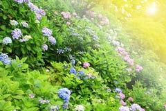 Hydrangea flower full bloom in garden Stock Images