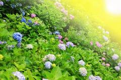 Hydrangea flower full bloom in garden Stock Photo