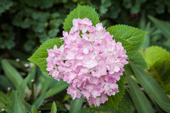 Hydrangea flower. In the garden Stock Photography