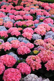 Hydrangea Flower garden Royalty Free Stock Images