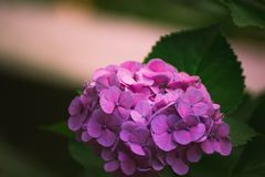 Hydrangea flower. Of Rainy season, Japan Royalty Free Stock Photo